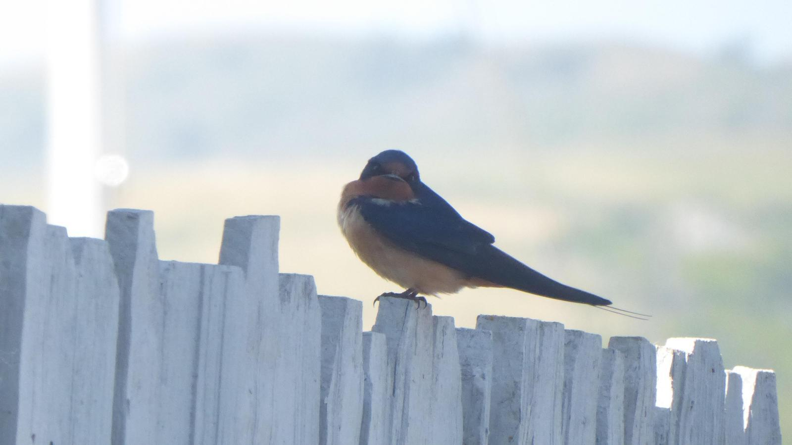 Barn Swallow Photo by Daliel Leite