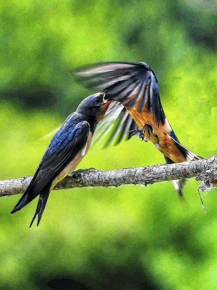 Barn Swallow Photo by Dan Tallman