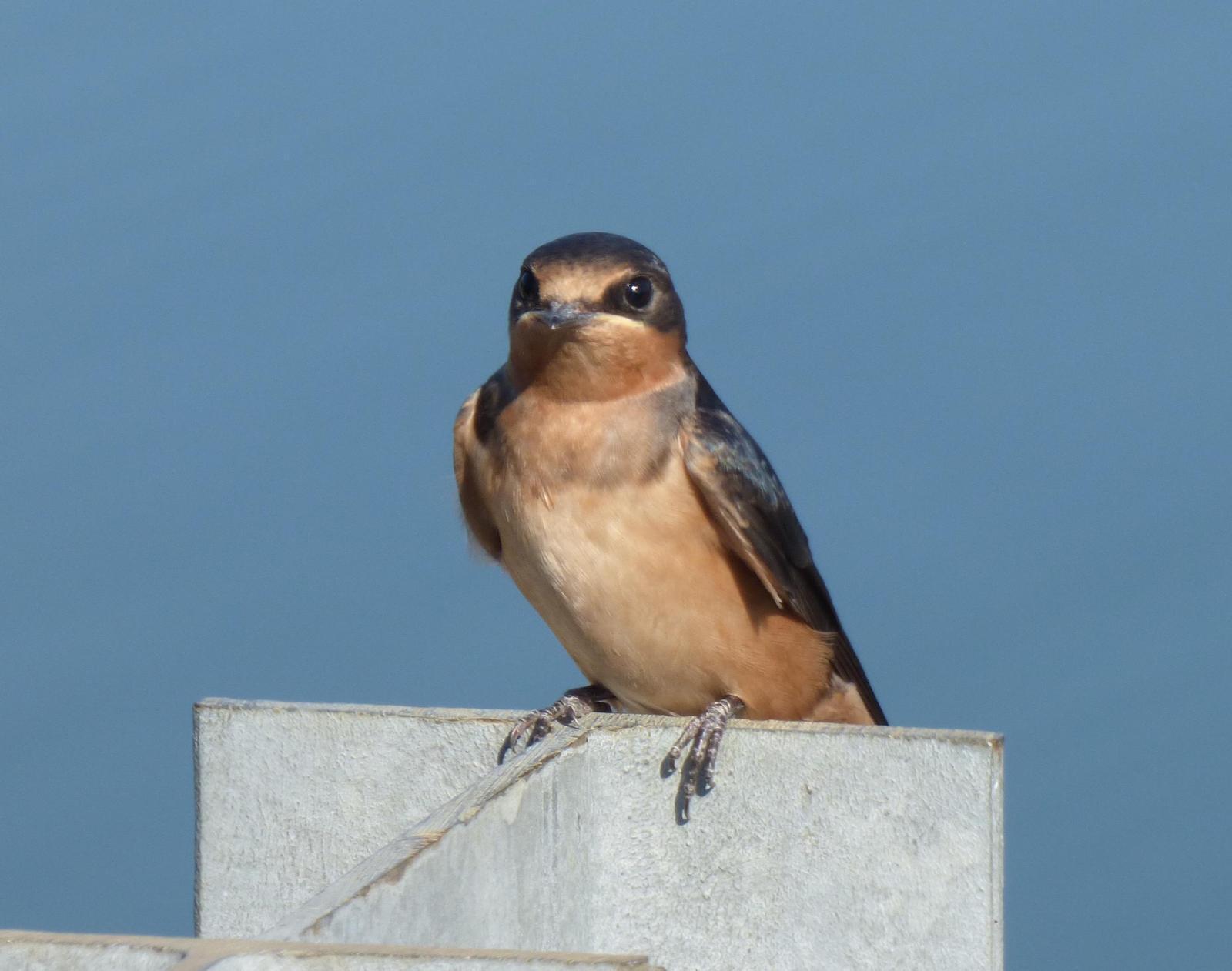 Barn Swallow Photo by Phil Ryan