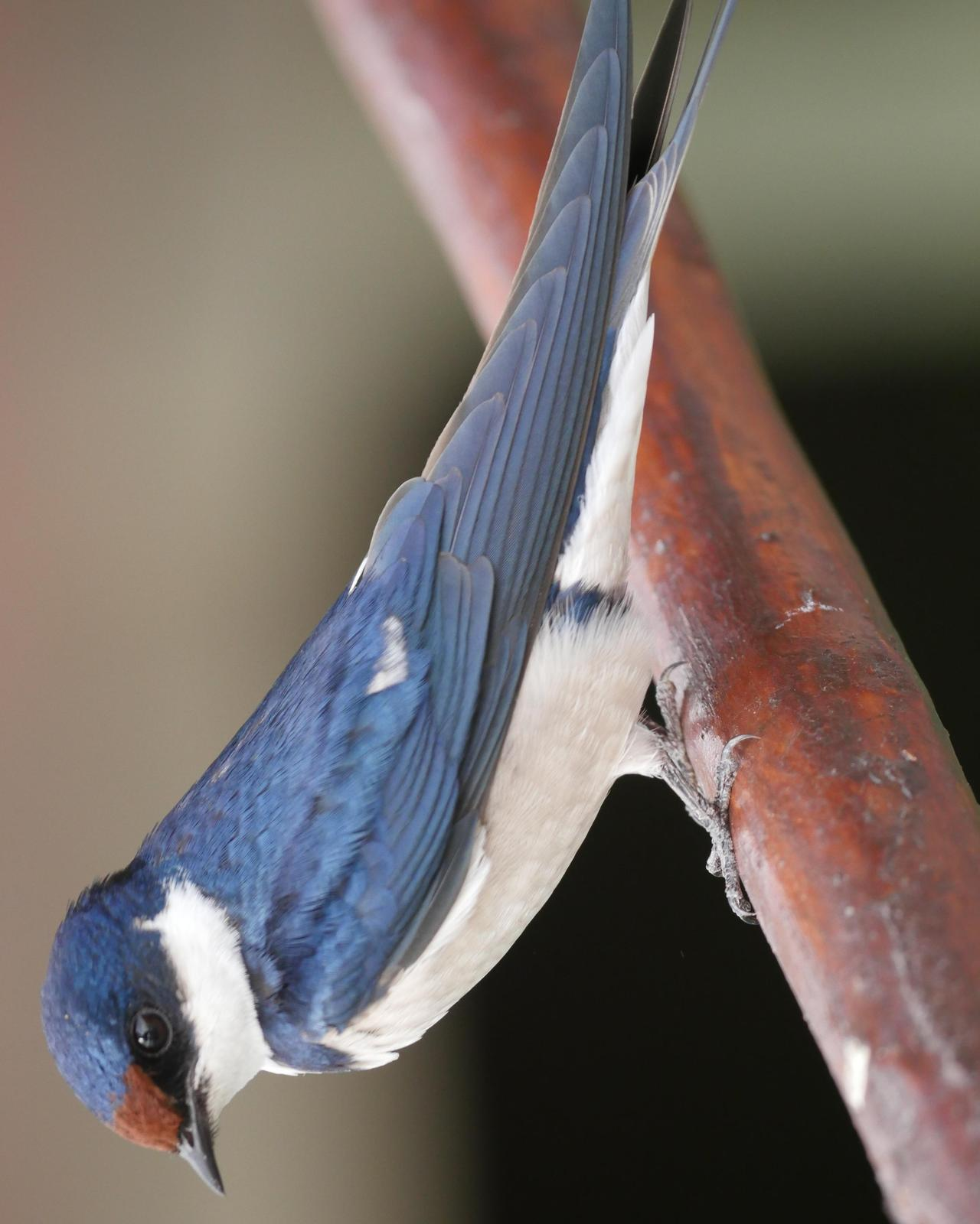White-throated Swallow Photo by Peter Lowe