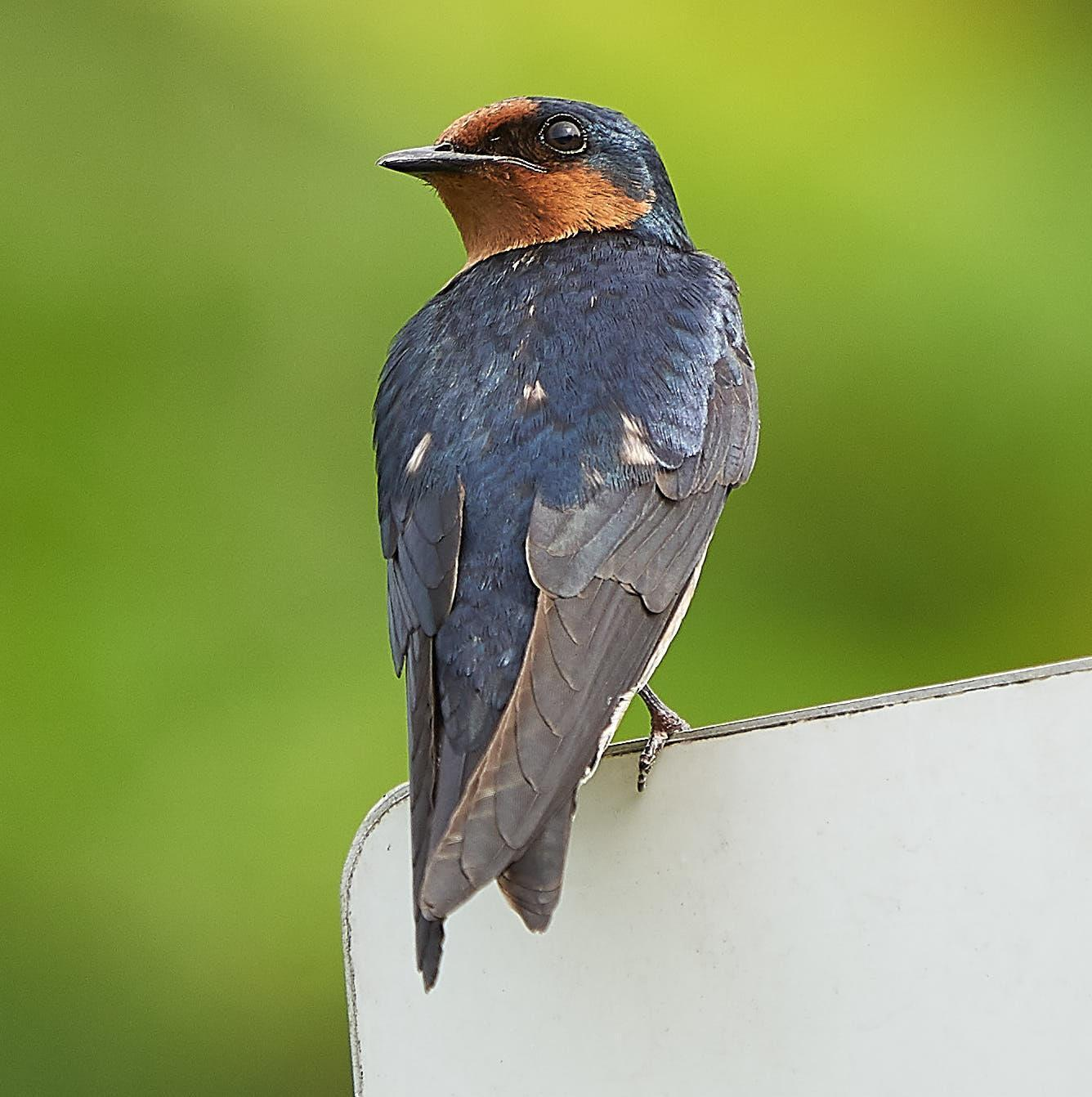 Pacific Swallow Photo by Steven Cheong
