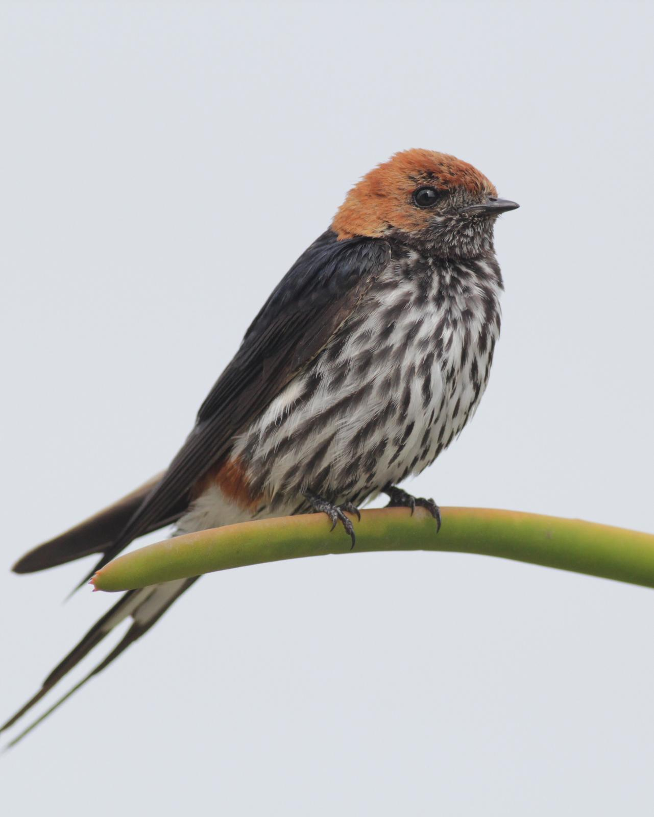 Lesser Striped Swallow Photo by Alex Lamoreaux