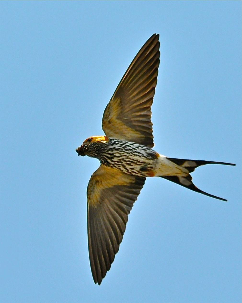 Lesser Striped Swallow Photo by Gerald Friesen