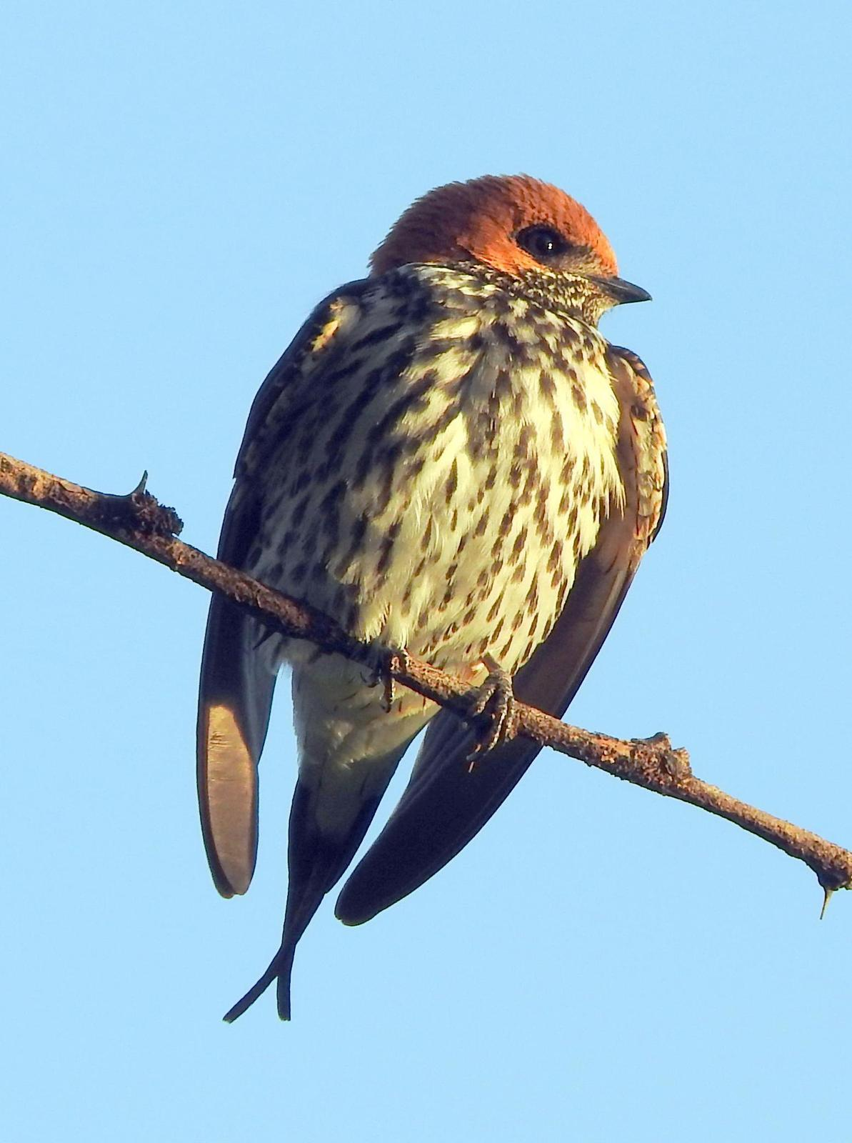 Lesser Striped Swallow Photo by Todd A. Watkins