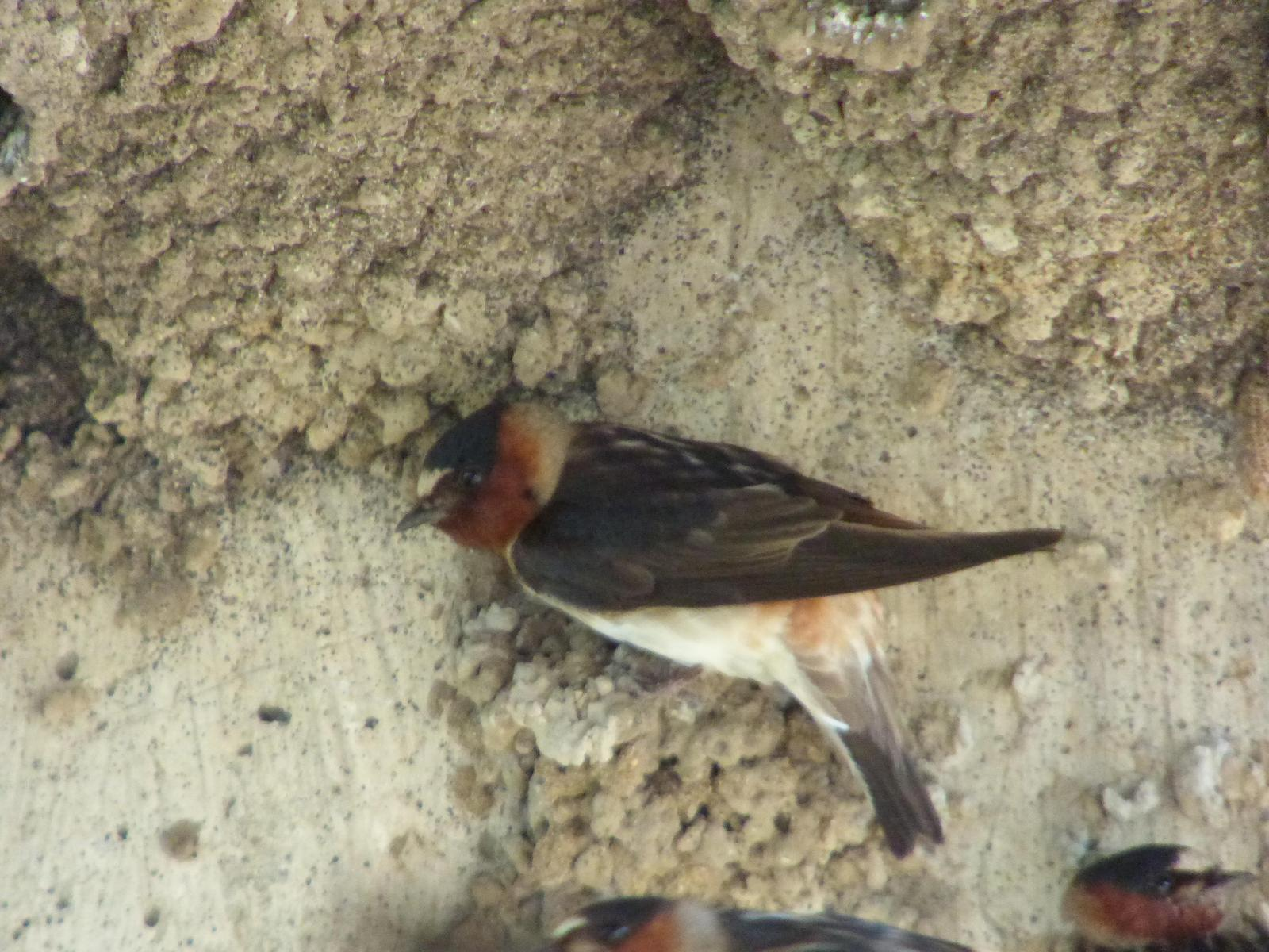 Cliff Swallow Photo by Phil Ryan
