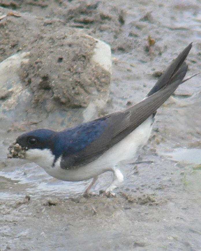 Common House-Martin Photo by Steven Mlodinow