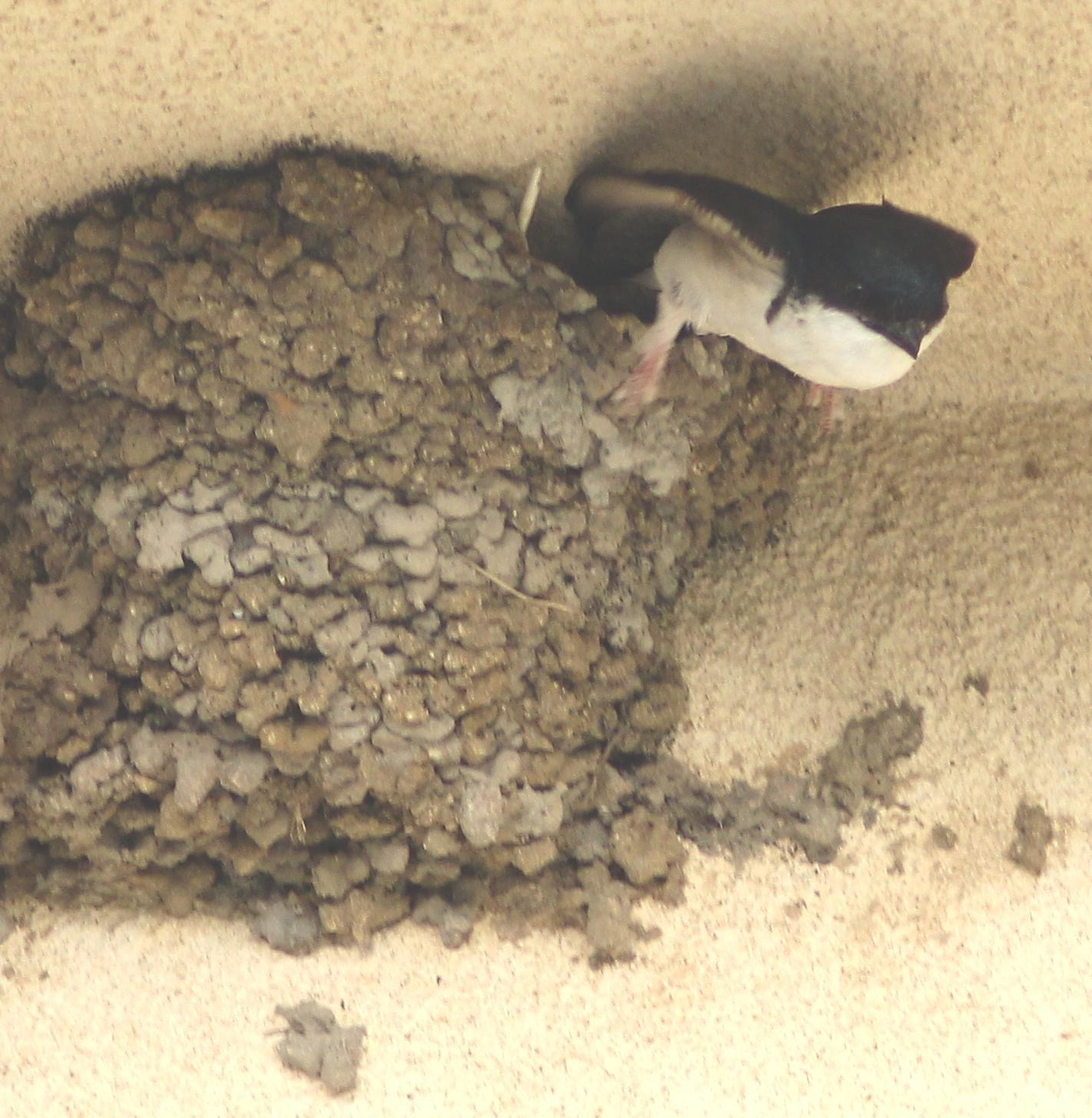 Common House-Martin Photo by Lee Harding