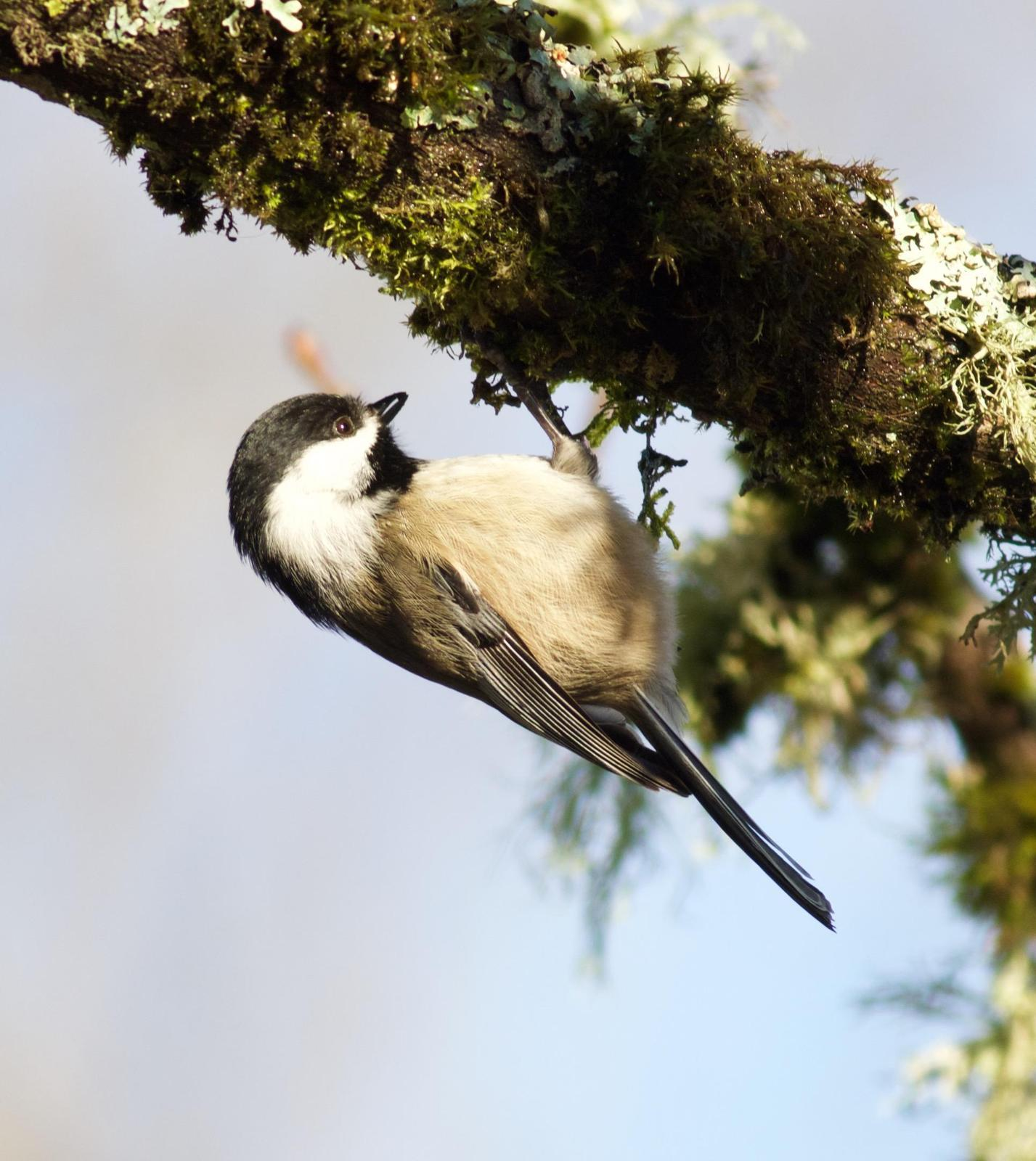 Black-capped Chickadee Photo by Kathryn Keith