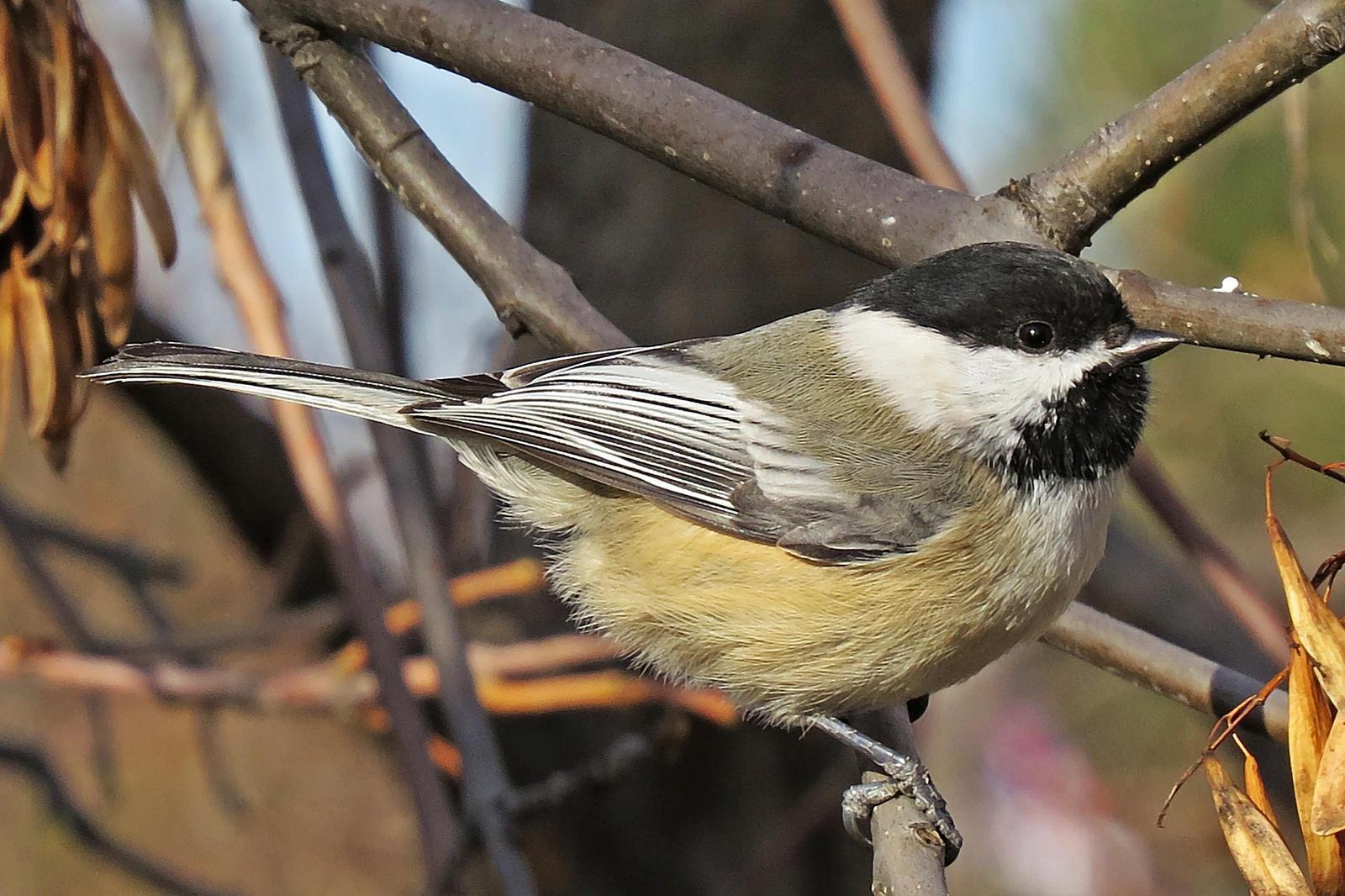 Black-capped Chickadee Photo by Bob Neugebauer
