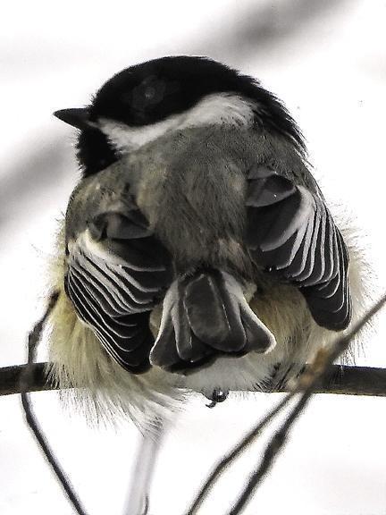 Black-capped Chickadee Photo by Dan Tallman