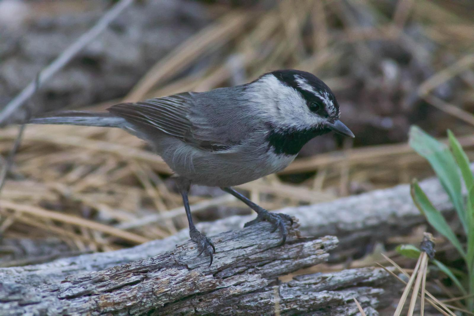 Mountain Chickadee Photo by Tom Ford-Hutchinson