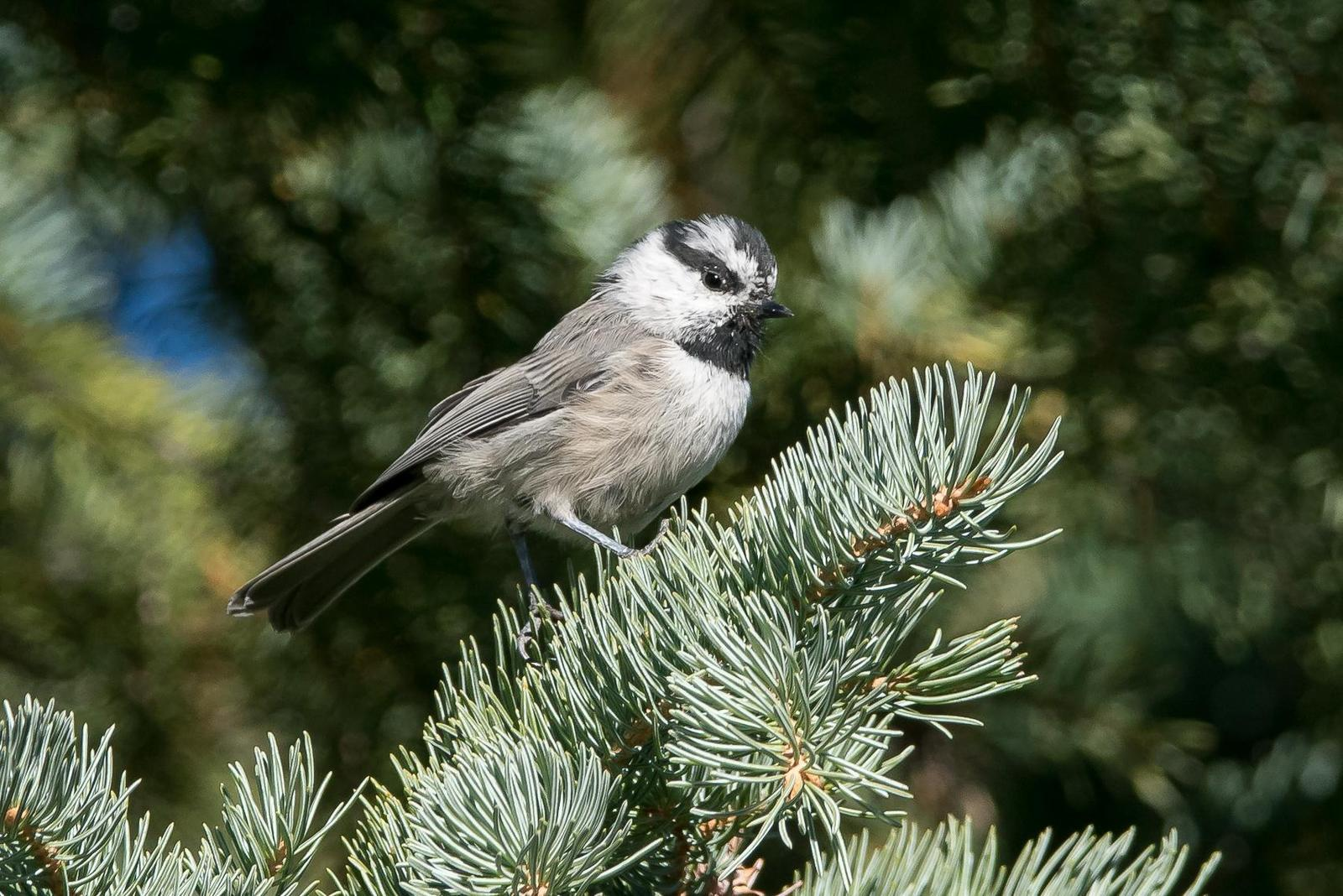 Mountain Chickadee Photo by Gerald Hoekstra