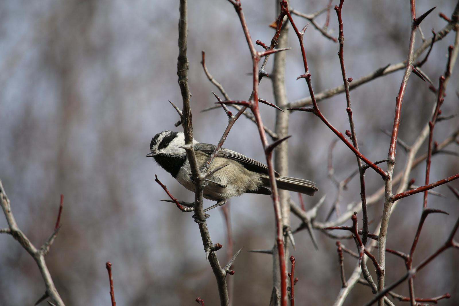 Mountain Chickadee Photo by Roblyn Brown