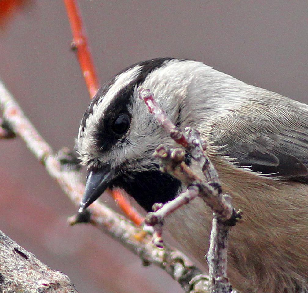 Mountain Chickadee Photo by Tom Gannon