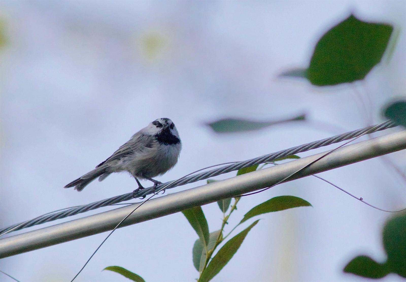 Mountain Chickadee Photo by Kathryn Keith