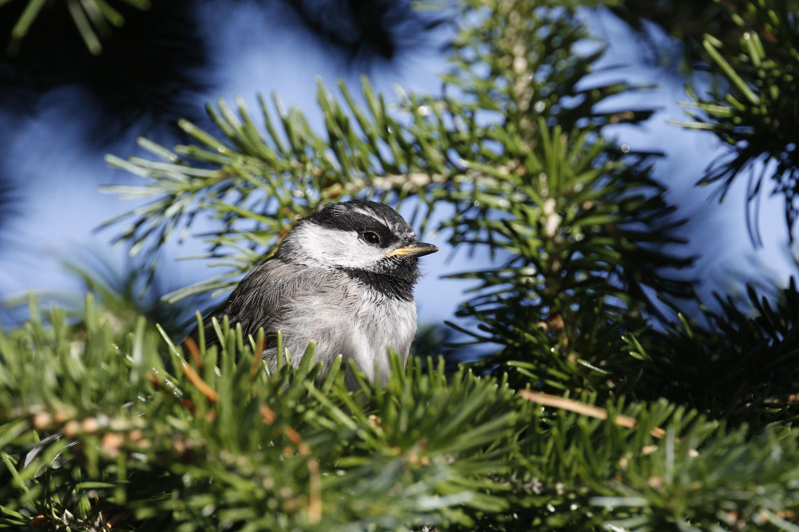 Mountain Chickadee Photo by Emily Willoughby