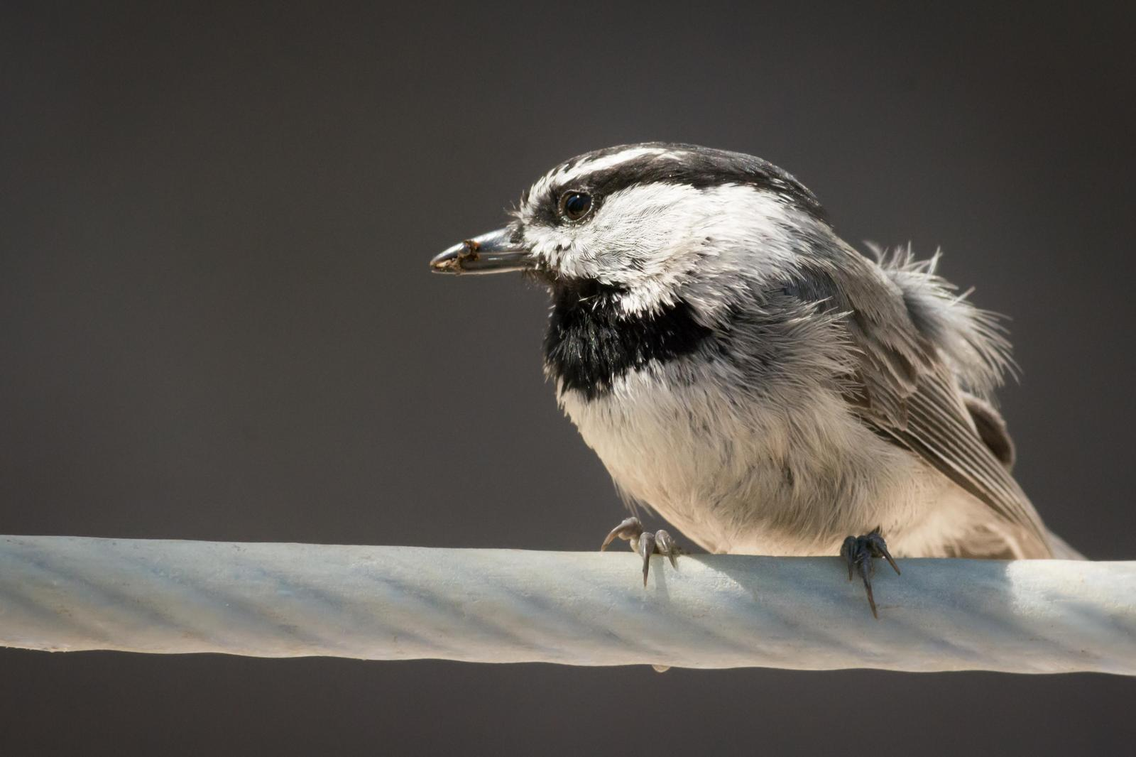 Mountain Chickadee Photo by Jesse Hodges
