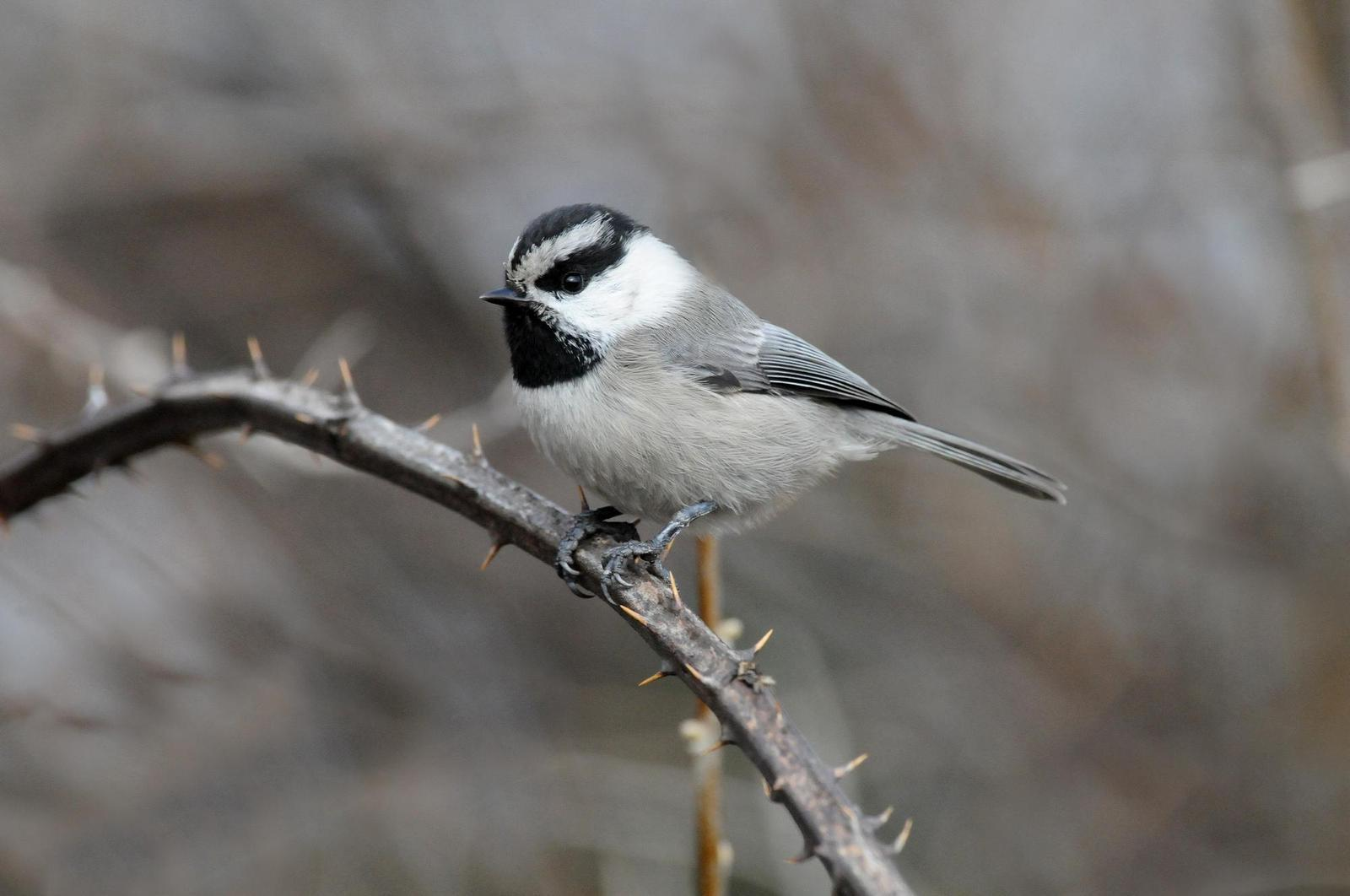 Mountain Chickadee Photo by Steven Mlodinow