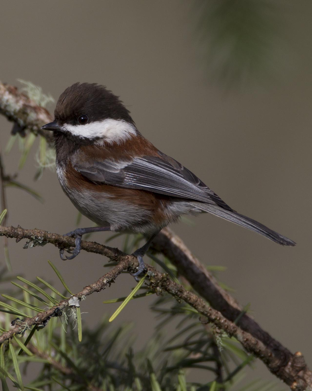 Chestnut-backed Chickadee Photo by Jeff Moore