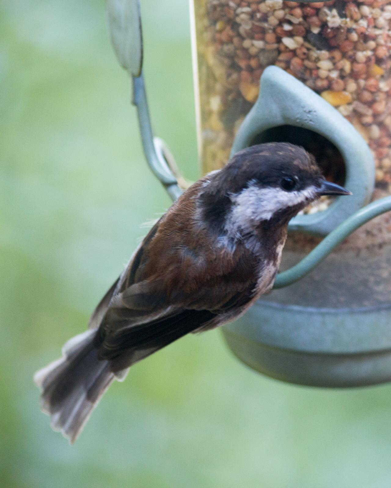 Chestnut-backed Chickadee Photo by Dylan Steinberg