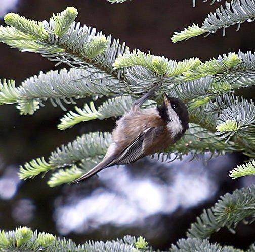Chestnut-backed Chickadee Photo by Dan Tallman