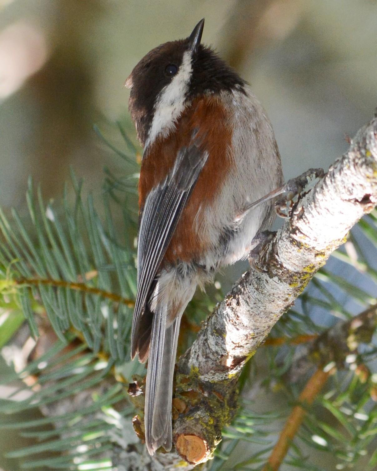 Chestnut-backed Chickadee Photo by David Hollie