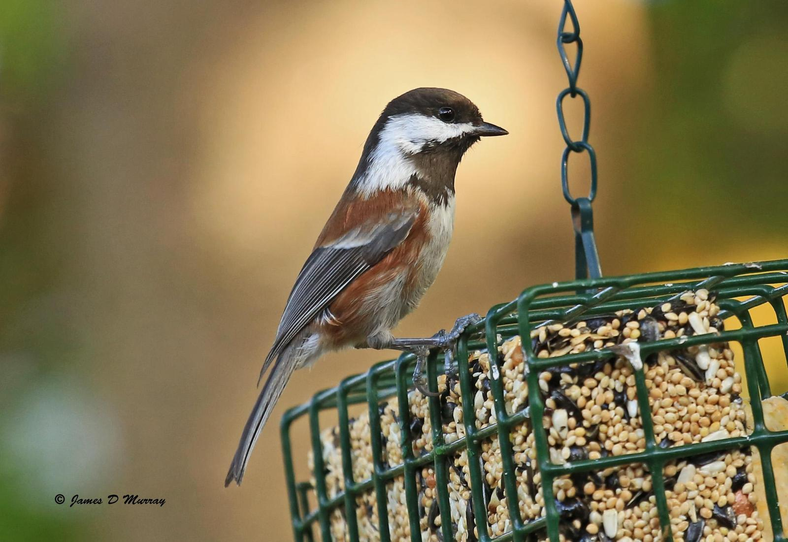 Chestnut-backed Chickadee Photo by Jim  Murray