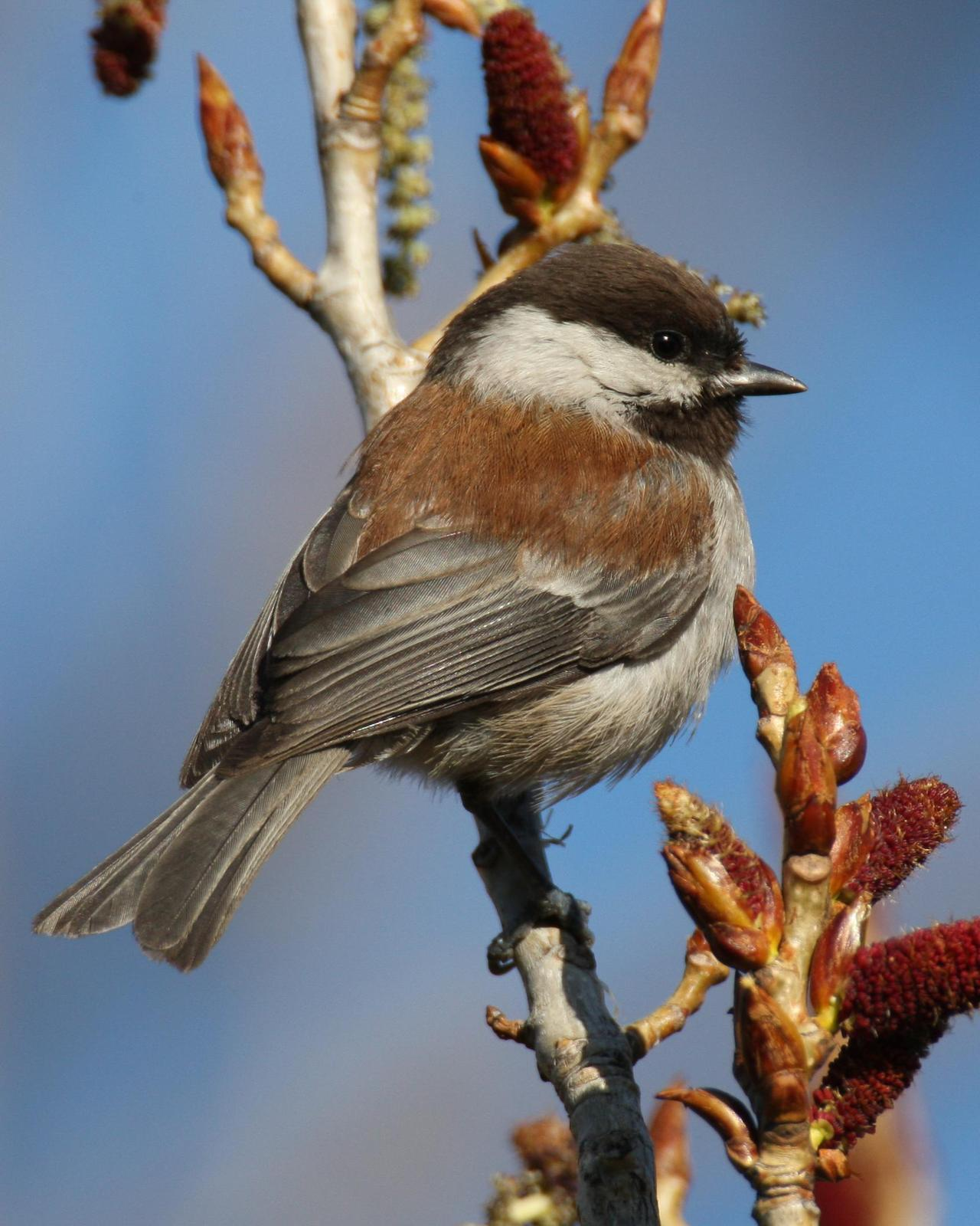 Chestnut-backed Chickadee Photo by Robert Lewis