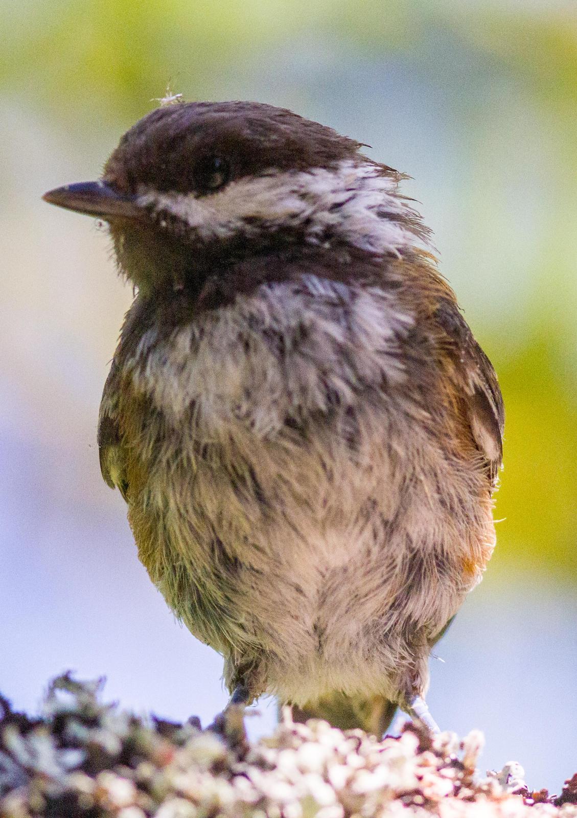 Chestnut-backed Chickadee Photo by Jeannette Piecznski
