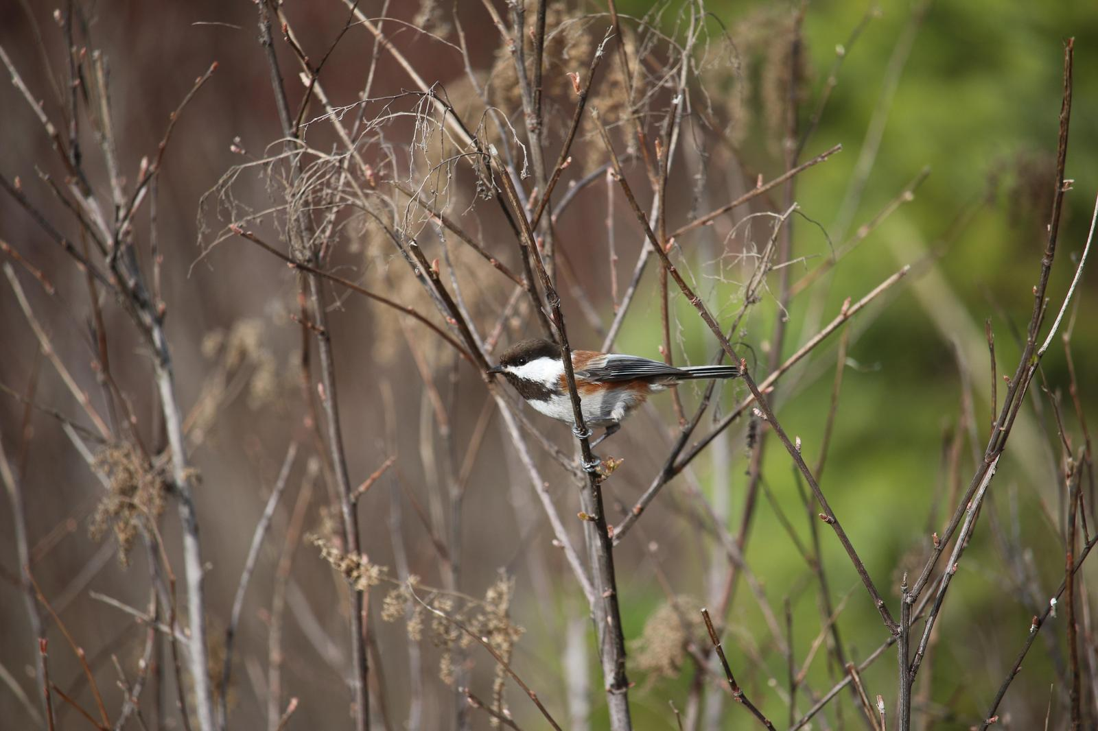 Chestnut-backed Chickadee Photo by Roblyn Brown