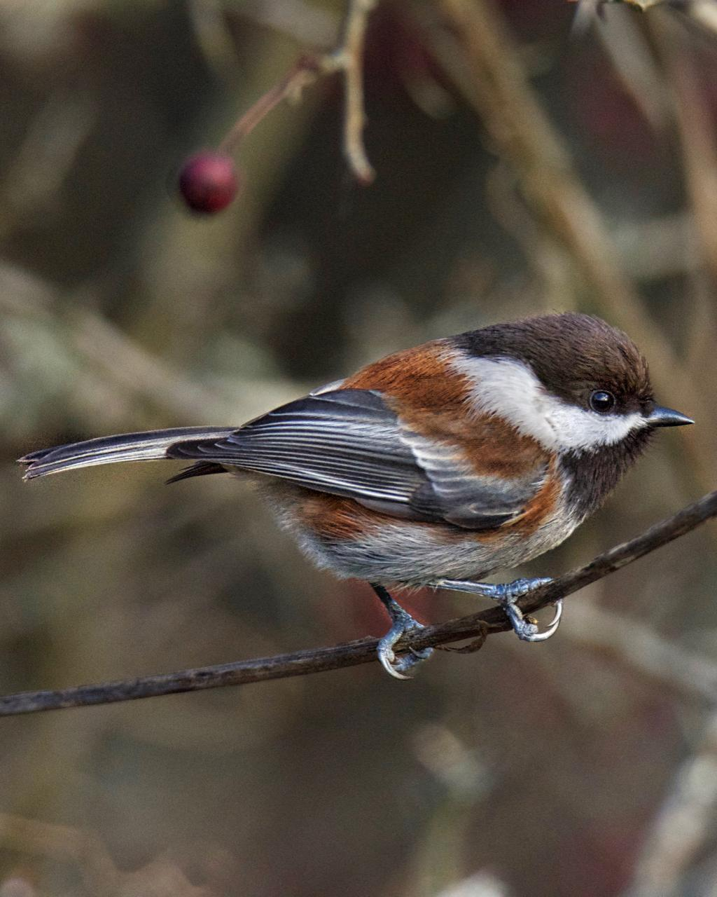 Chestnut-backed Chickadee Photo by Brian Avent