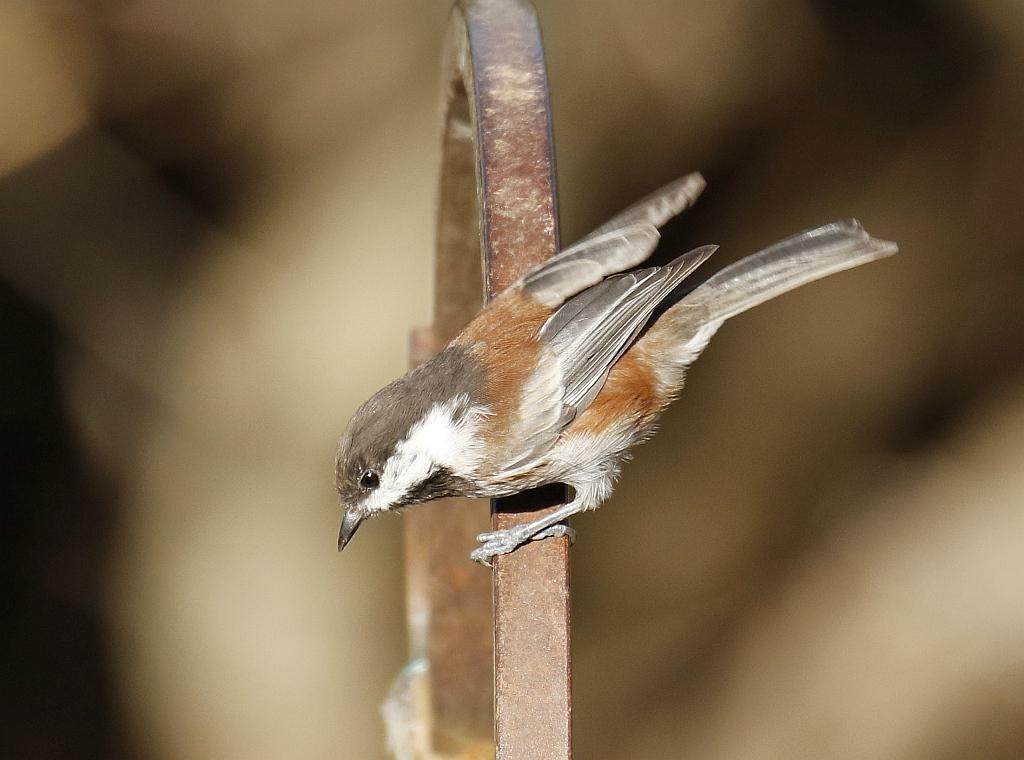 Chestnut-backed Chickadee Photo by Vicki Miller
