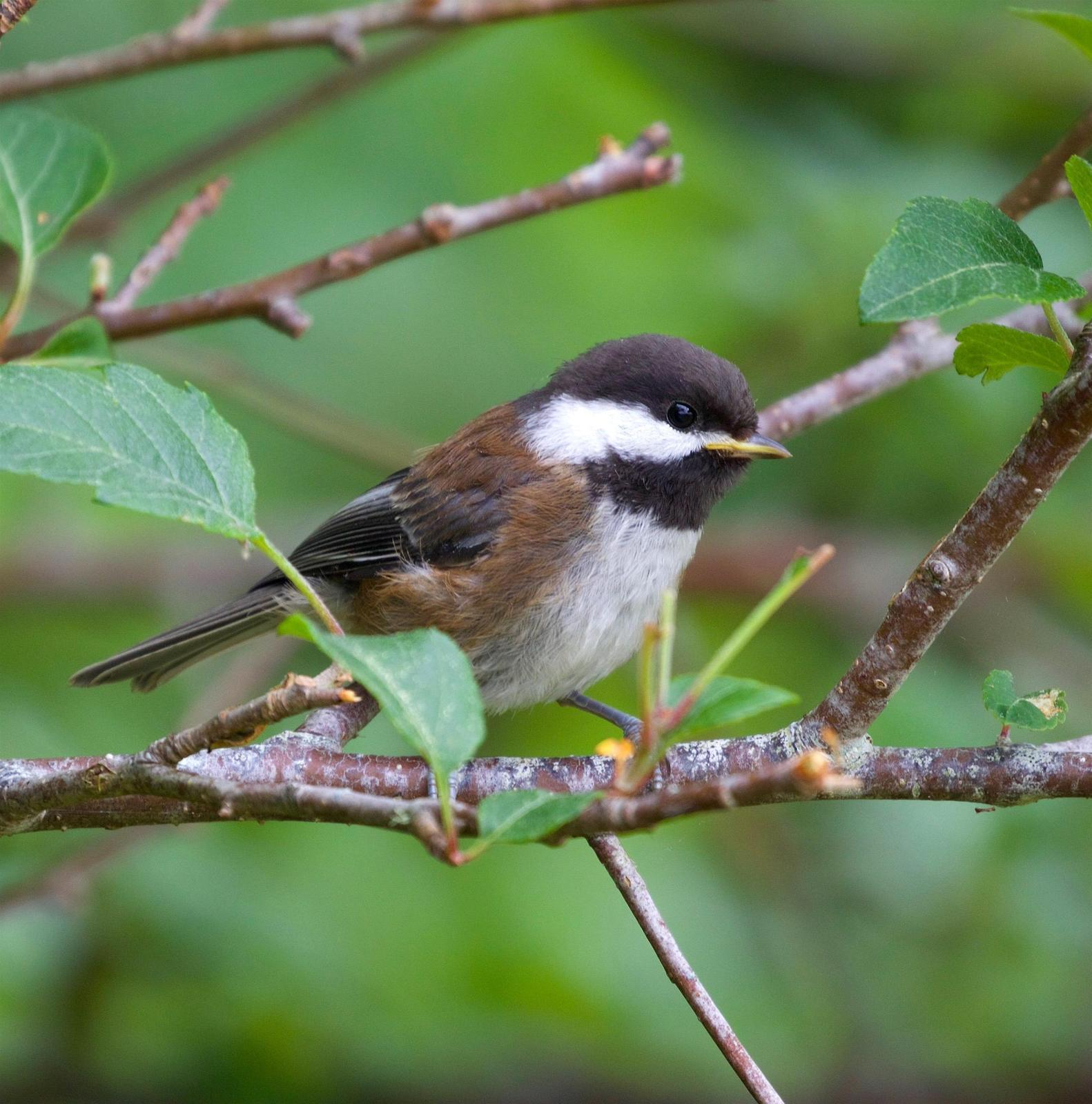 Chestnut-backed Chickadee Photo by Kathryn Keith