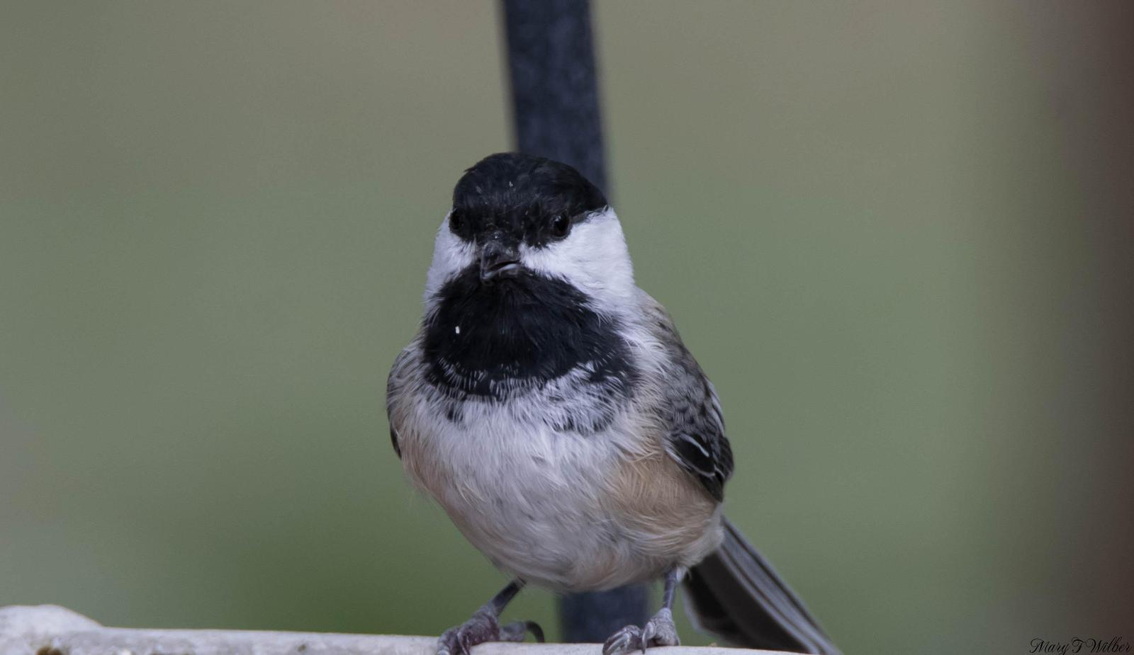 chickadee sp. Photo by Mary Wilber