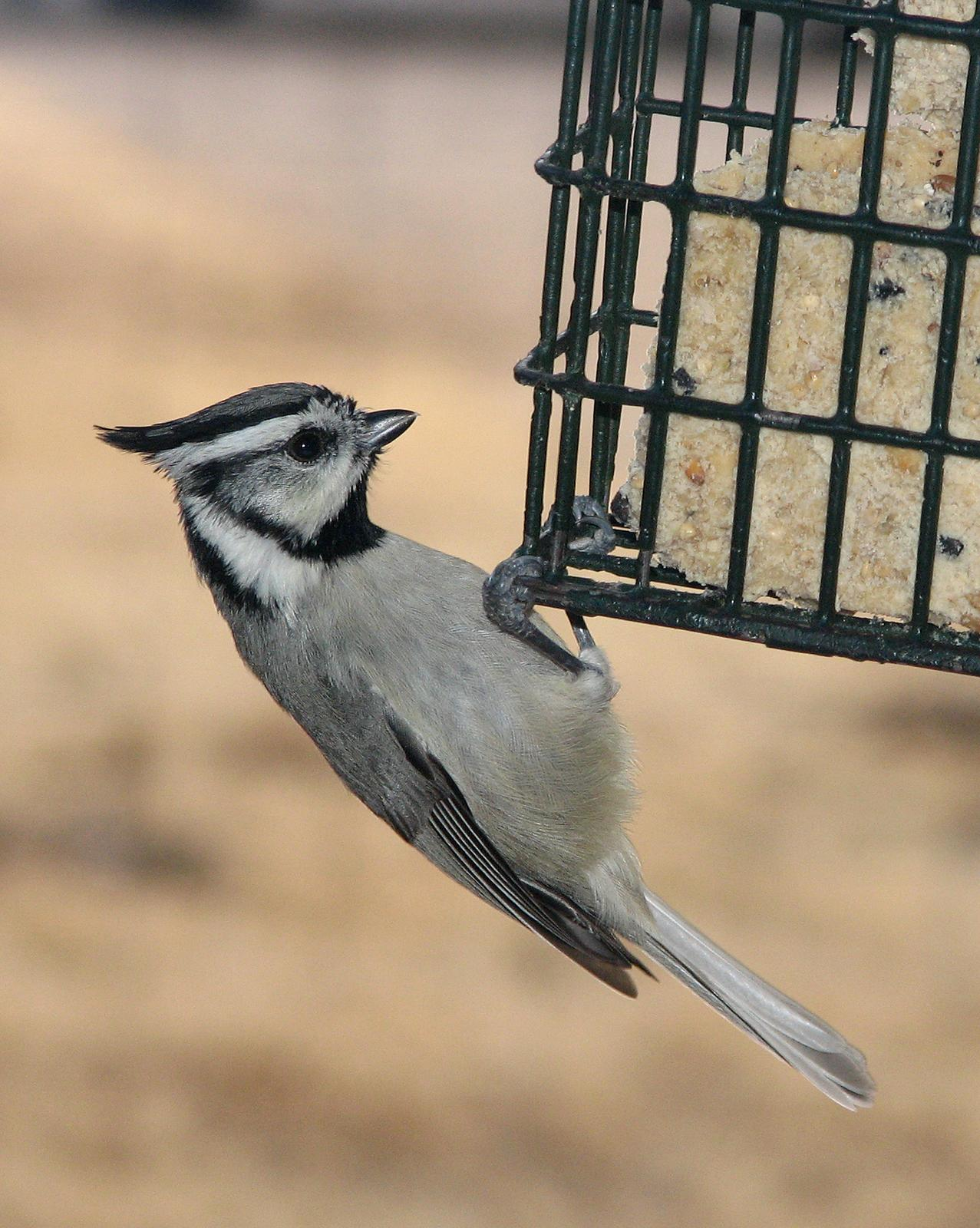 Bridled Titmouse Photo by Robert Behrstock