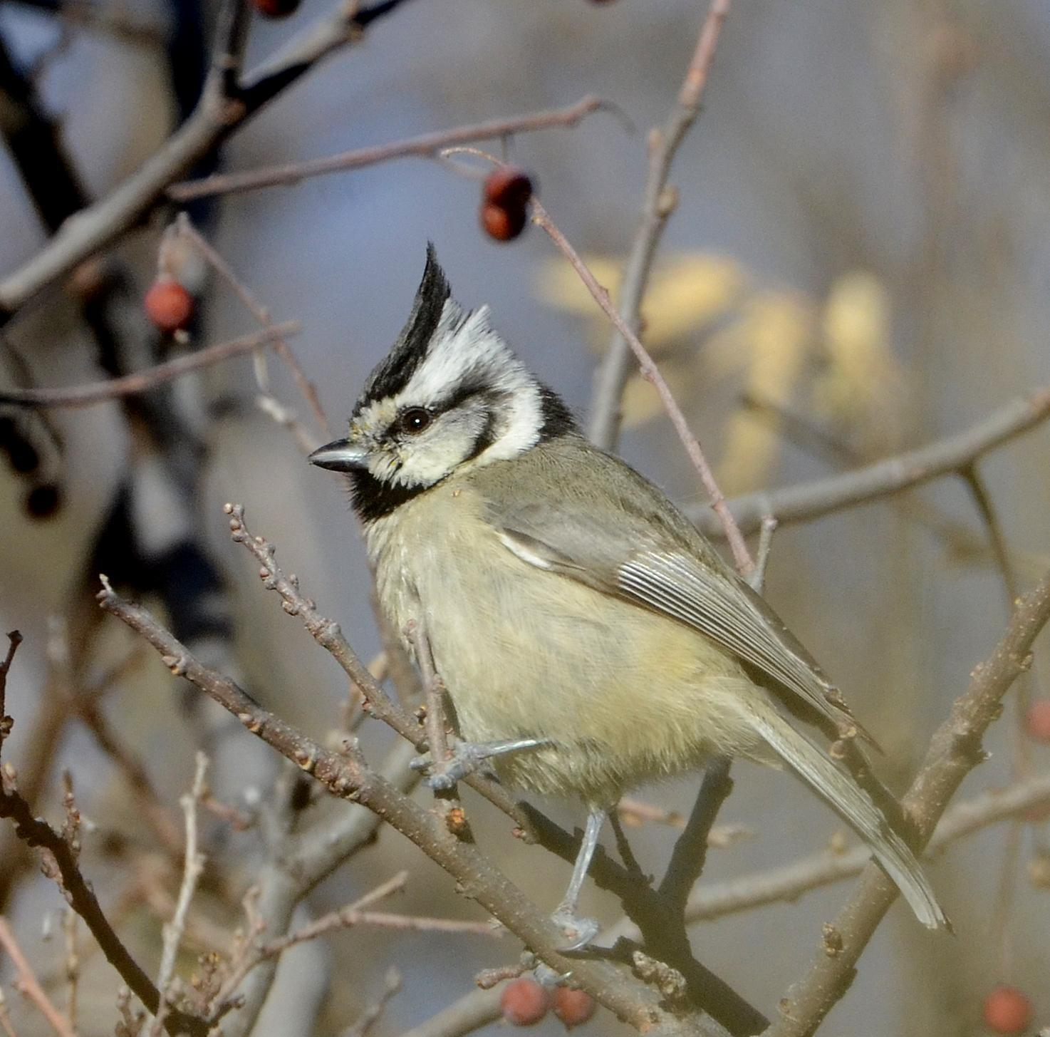 Bridled Titmouse Photo by Steven Mlodinow