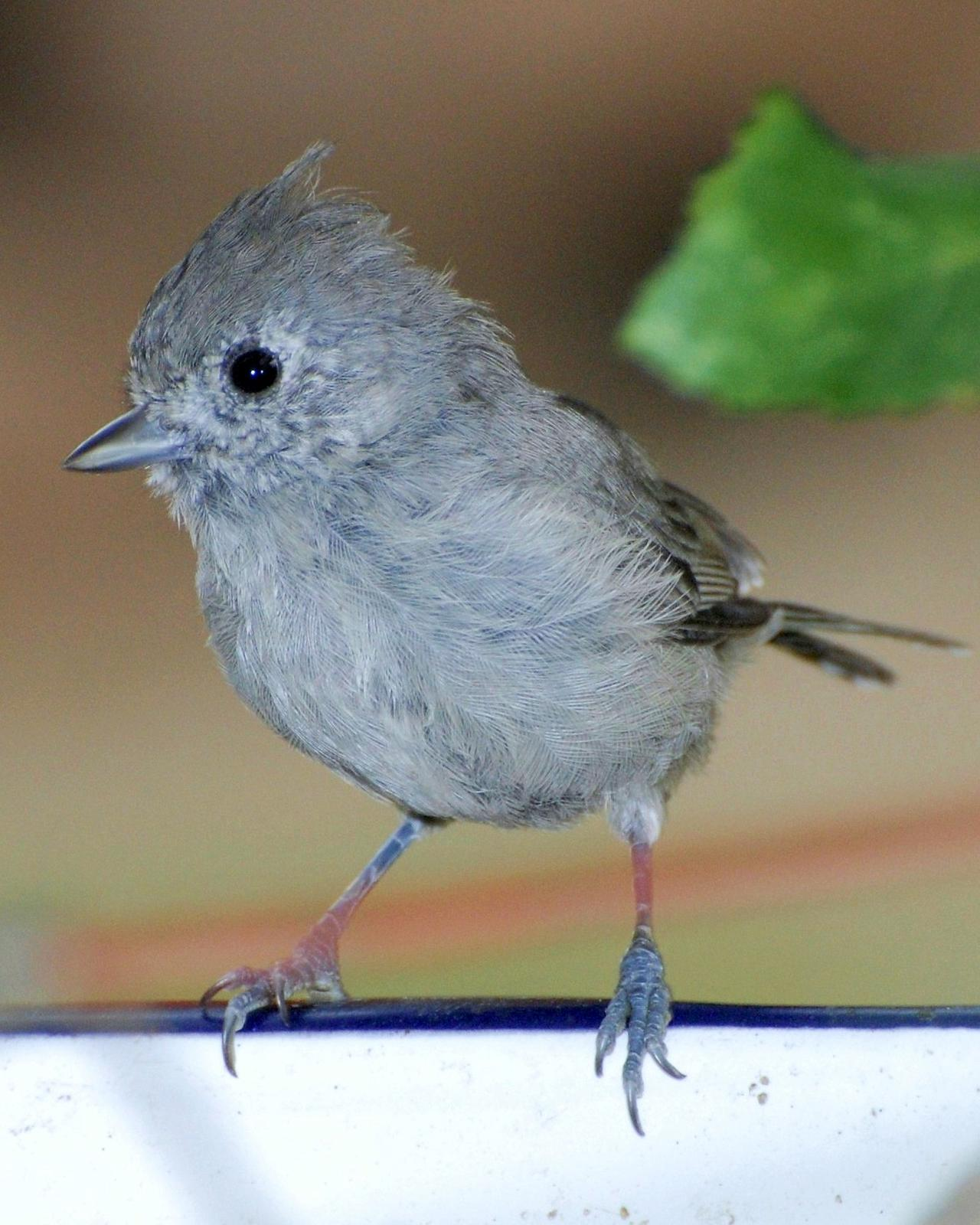 Juniper Titmouse Photo by David Hollie