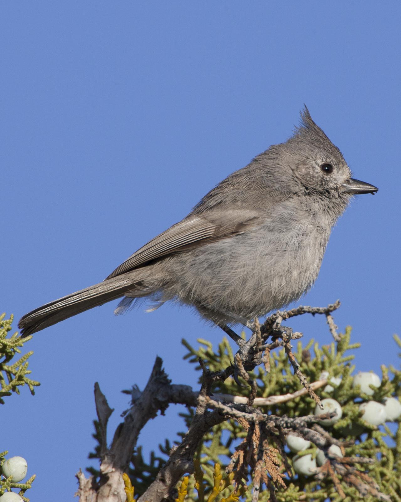 Juniper Titmouse Photo by Jeff Moore