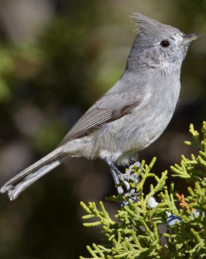 Juniper Titmouse Photo by Mike Barth