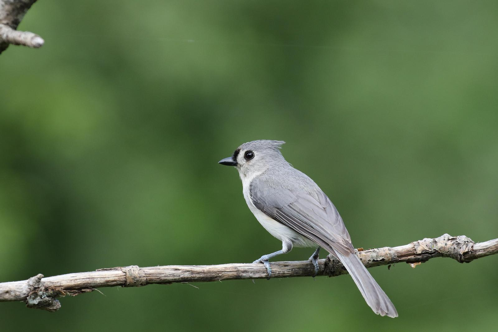 Tufted Titmouse Photo by Kristy Baker