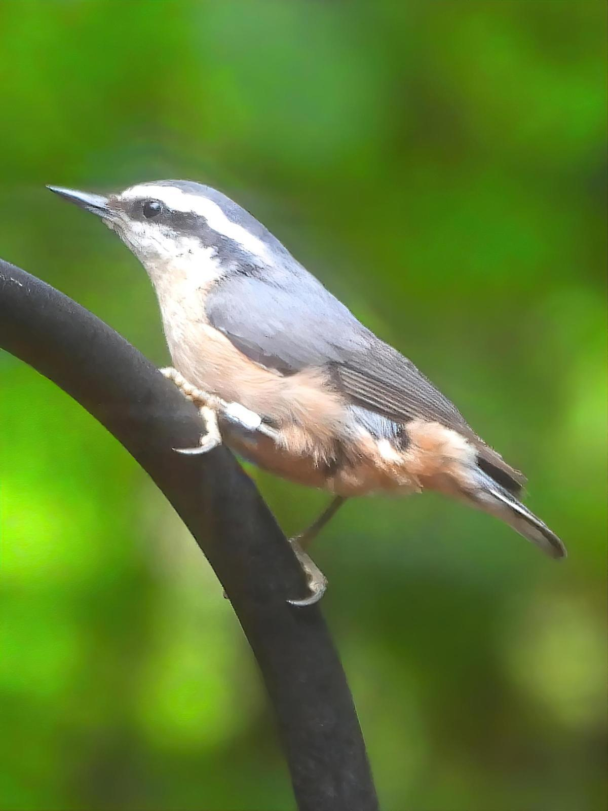 Red-breasted Nuthatch Photo by Dan Tallman