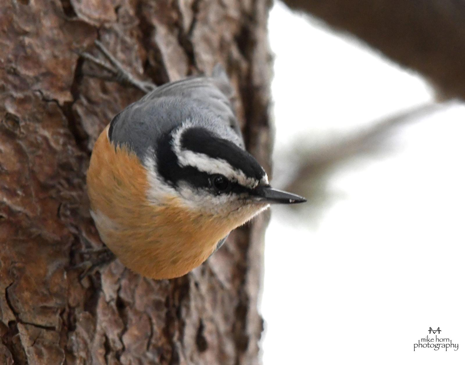 Red-breasted Nuthatch Photo by Michael Horn