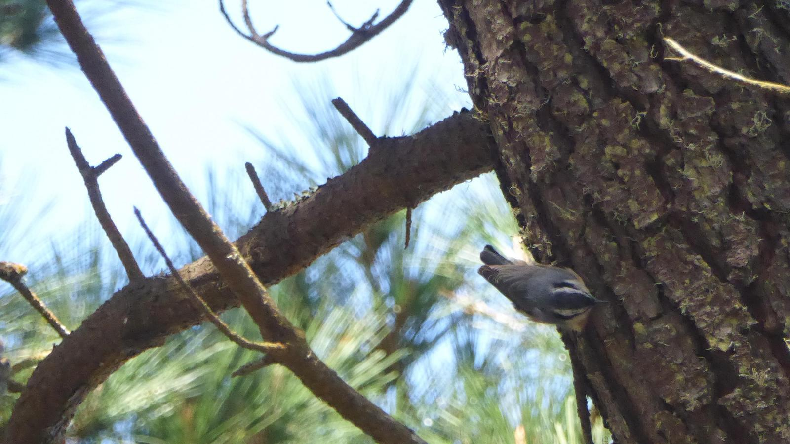 Red-breasted Nuthatch Photo by Daliel Leite