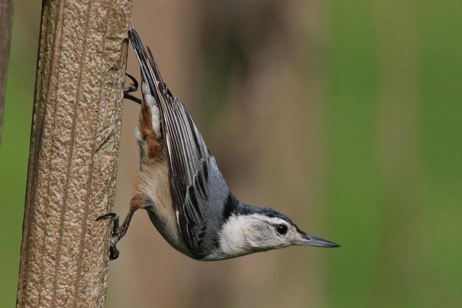 White-breasted Nuthatch Photo by Kristy Baker