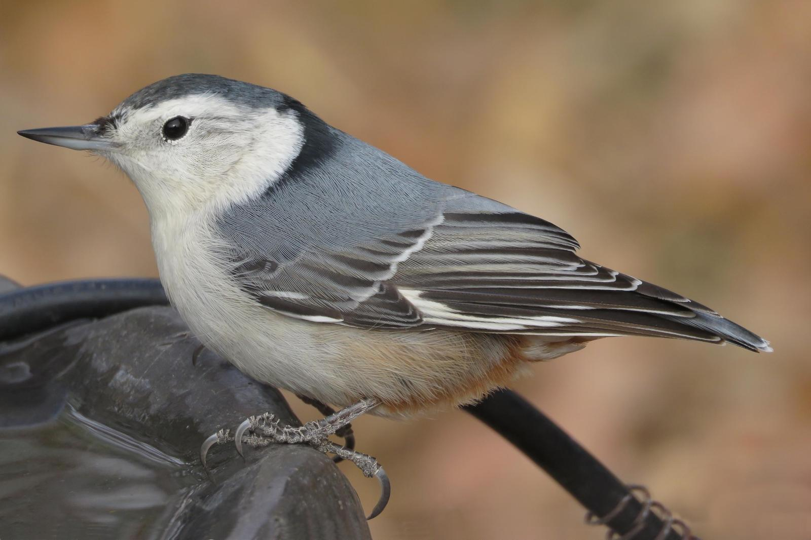 White-breasted Nuthatch Photo by Bob Neugebauer
