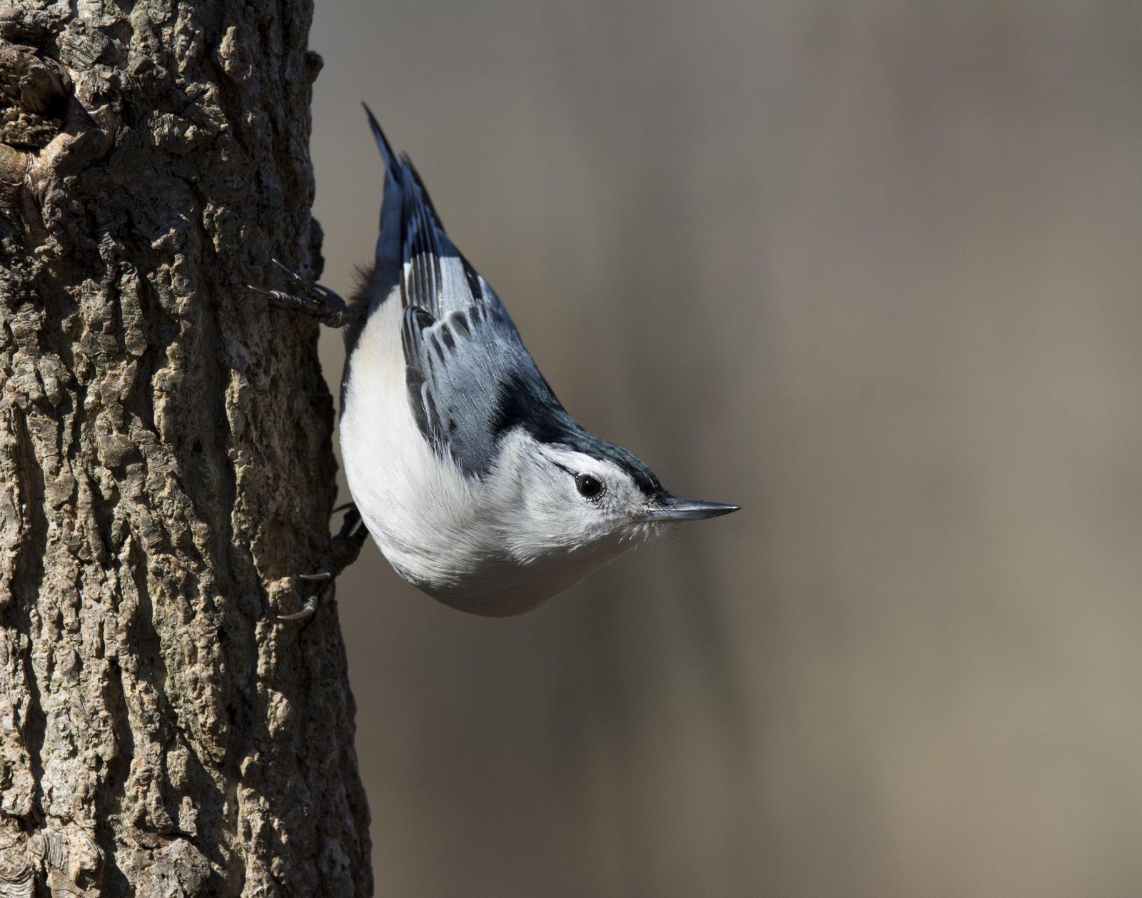 White-breasted Nuthatch Photo by Jacob Zadik