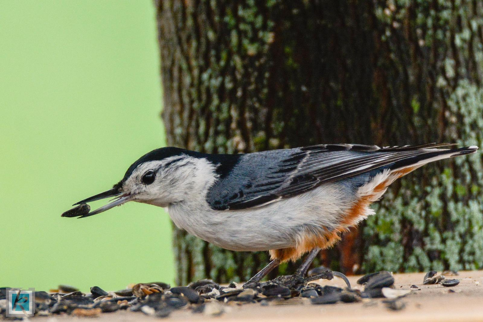 White-breasted Nuthatch Photo by Tyson Kahler