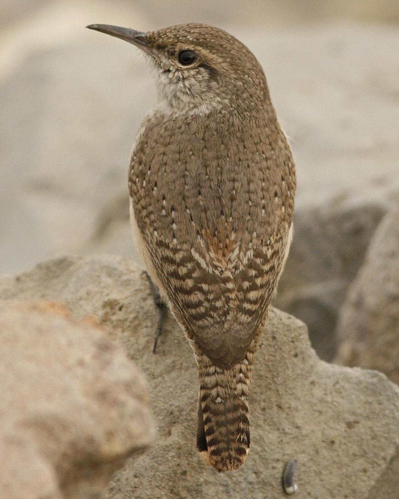 Rock Wren Photo by Oscar Johnson