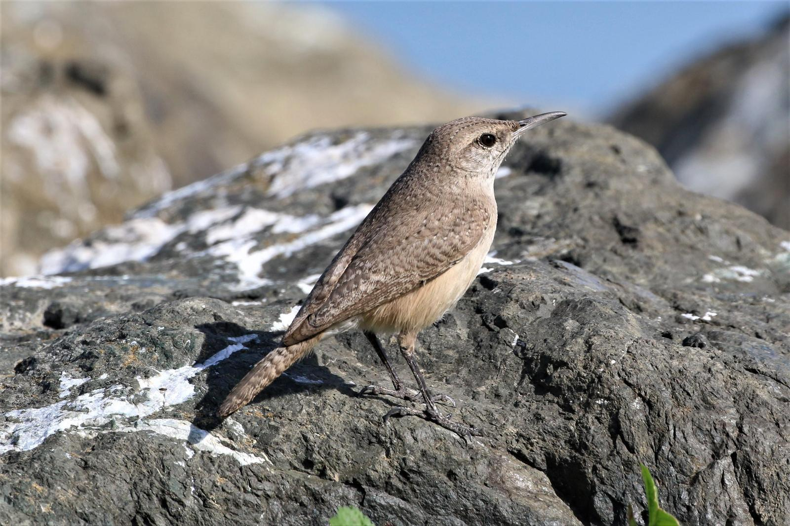 Rock Wren Photo by Richard Jeffers