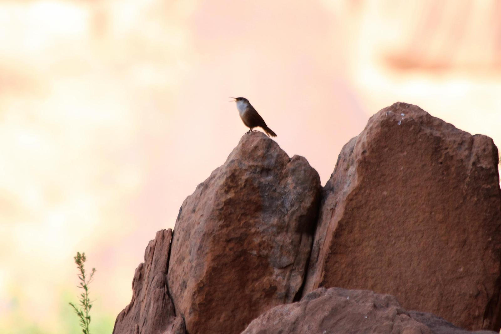 Canyon Wren Photo by Darrin Menzo